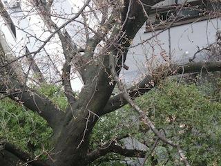 ほころび始めた大学構内の桜