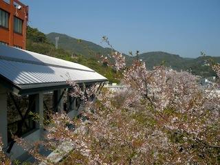 桜・食堂前