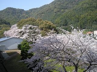 キャンパス内満開の桜